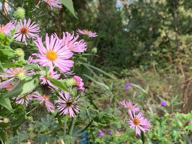 Native Asters